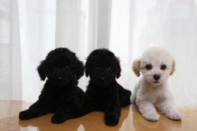 トイプードルの子犬をお探しなら千葉の【A HAPPY DOG LIFE】へ!