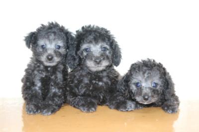 トイプードルの子犬をお探しならシルバーなど珍しい種類も揃う【A HAPPY DOG LIFE】へ!