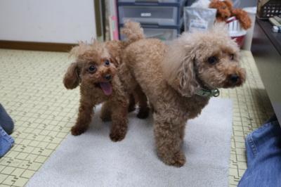 交配の補助について【A HAPPY DOG LIFE】ではプロ目線でやり方をアドバイス~トイプードルの子犬を販売中!~