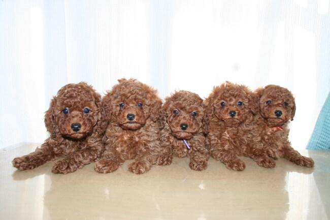 トイプードルのブリーダーが教えるペット保険について(正しい飼い方の一つとして念頭において下さい)