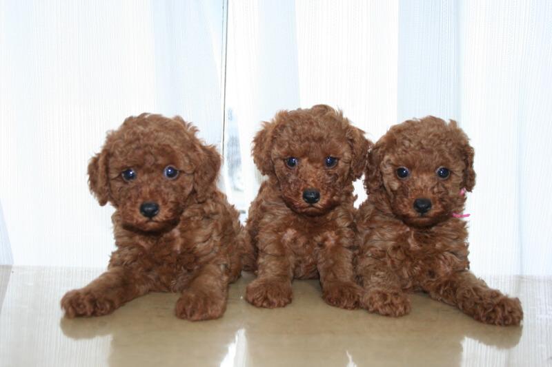 東京・千葉周辺にあるトイプードルの子犬販売店をお探しなら「A HAPPY DOG LIFE」へ!