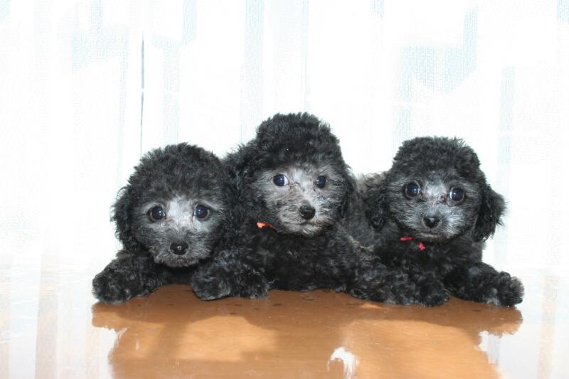 トイプードルの販売なら「A HAPPY DOG LIFE」へ!ブリーダーが育てた元気な子犬をお渡し致します