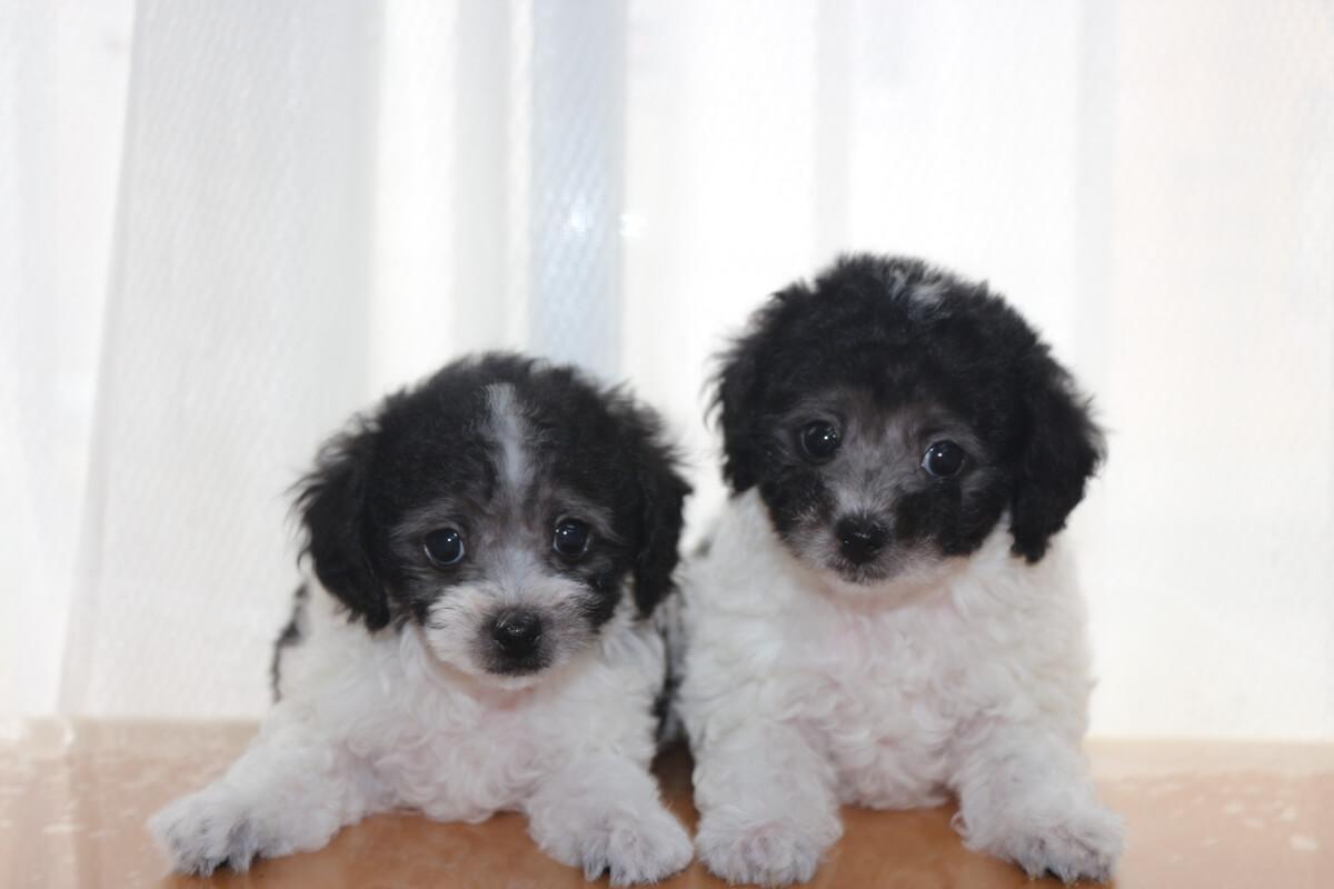 トイプードルのブリーダーをお探しなら子犬販売を行う「A HAPPY DOG LIFE」へ!子犬の飼い方を分かり易く説明します。