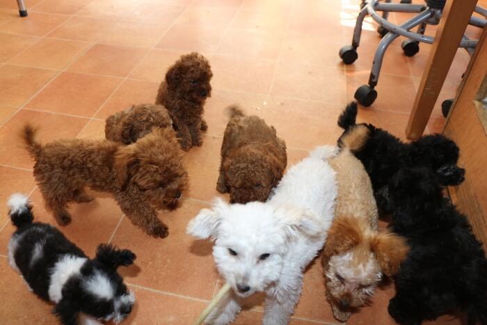 ティーカッププードルが子犬のうちに社会化を行おう!