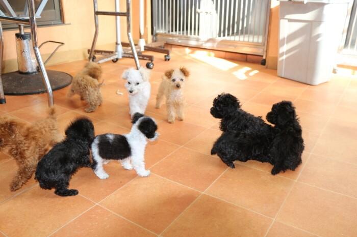 ティーカッププードルの子犬を販売するブリーダー「A HAPPY DOG LIFE」は子犬の社会化もバッチリ!