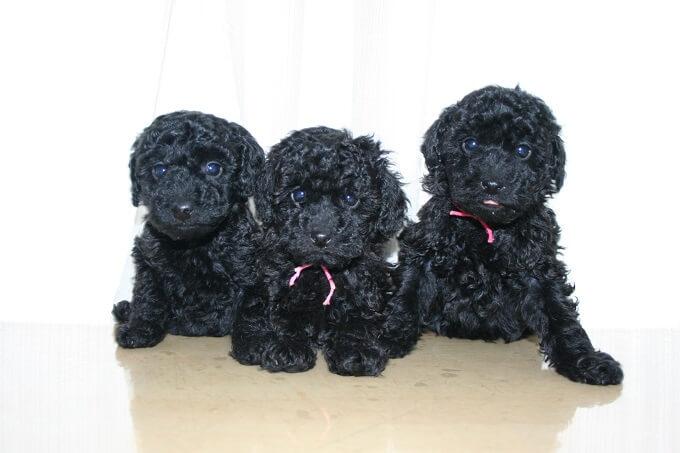 トイプードルの交配を行う「A HAPPY DOG LIFE」ではJKCCHから生まれた子犬を販売
