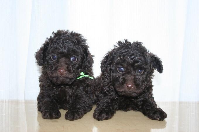 トイプードルの販売店を東京や千葉でお探しなら「A HAPPY DOG LIFE」へ!