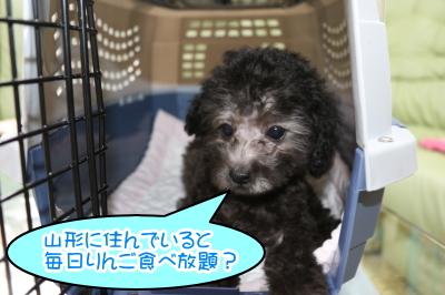 ティーカッププードルシルバーの子犬オス生後2ヶ月半画像
