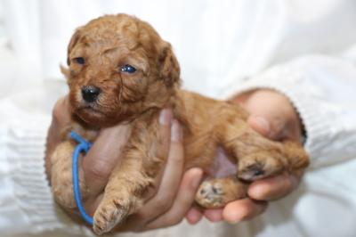 トイプードルアプリコットの子犬オス、生後3週間画像