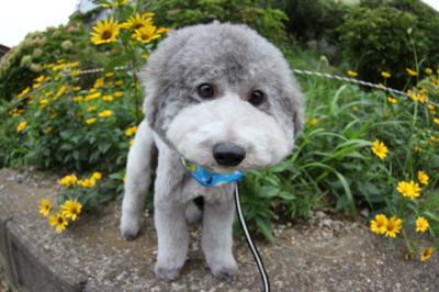 トイプードルシルバー成犬オス画像