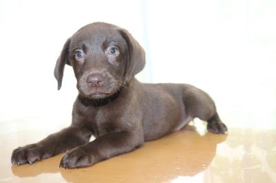 ラブラドールチョコ(チョコラブ)の子犬メス、生後2ヵ月画像