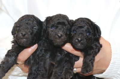 トイプードルシルバーの子犬オス2頭メス1頭、生後3週間画像