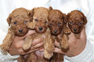 トイプードルの子犬アプリコットオス2頭レッドメス2頭、生後4週間画像