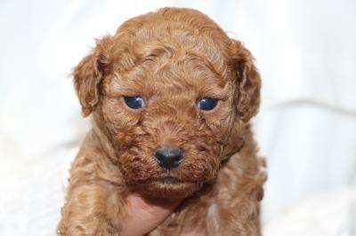 トイプードルの子犬アプリコットオス、生後4週間画像