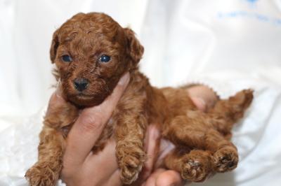トイプードルの子犬レッドメス、生後4週間画像