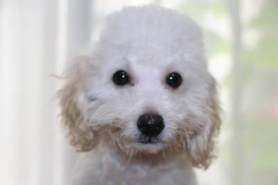 トイプードルホワイト(白色)の子犬オス、生後3ヵ月画像