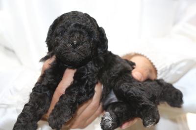 イプードルシルバーの子犬メス、生後4週間画像