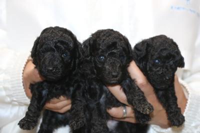トイプードルシルバーの子犬オス1頭メス2頭、生後3週間画像