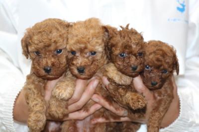 トイプードルの子犬アプリコットオス2頭レッドメス2頭、生後5週間画像