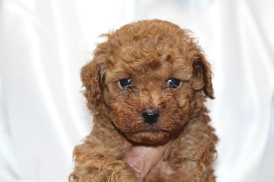 トイプードルの子犬アプリコットオス、生後5週間