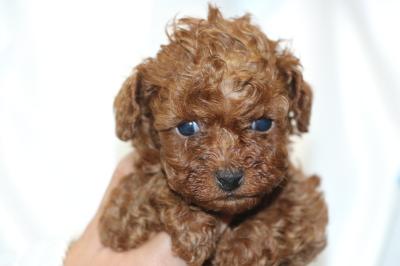 トイプードルの子犬レッドメス、生後5週間