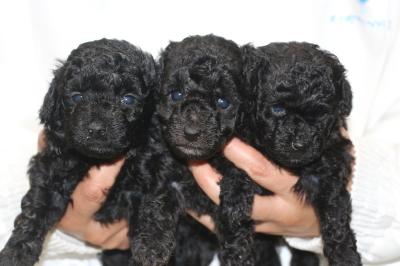 トイプードルシルバーの子犬オス1頭メス2頭、生後4週間画像