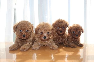 トイプードルの子犬アプリコットオス2頭レッドメス2頭、生後6週間画像
