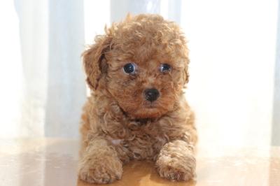 トイプードルアプリコットの子犬オス、生後6週間画像