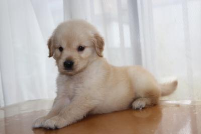ゴールデンレトリバーの子犬オス、生後7週間画像