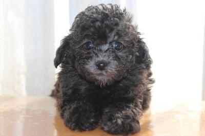 トイプードルシルバーの子犬オス、生後6週間画像