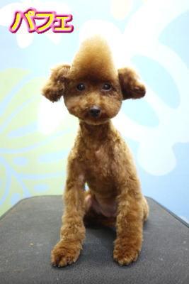 トイプードルブリーダーの成犬、トリミング後画像