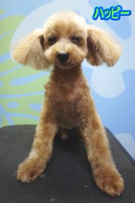 トプードルブリーダーの成犬,トリミング画像