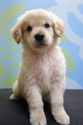 ゴールデンレトリバーのブリーダーの子犬のトリミング画像