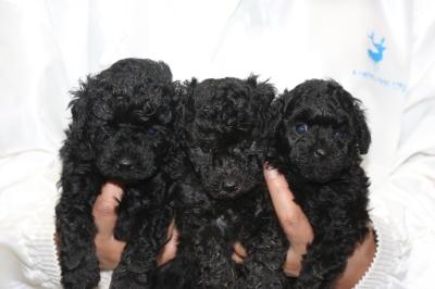 トイプードルの子犬、ブラックオスシルバーオスメス、生後5週間画像