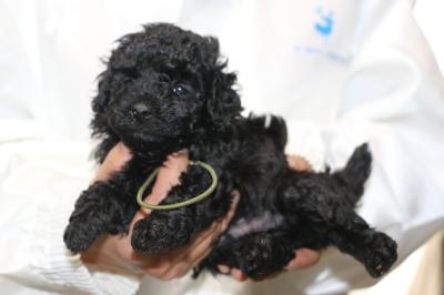 トイプードルブラックの子犬オス、生後5週間画像