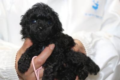 トイプードルブラックの子犬メス、生後5週間画像