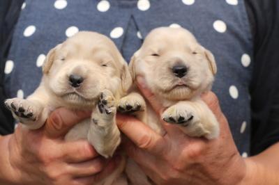 ゴールデンレトリバーの子犬メス、生後2週間画像