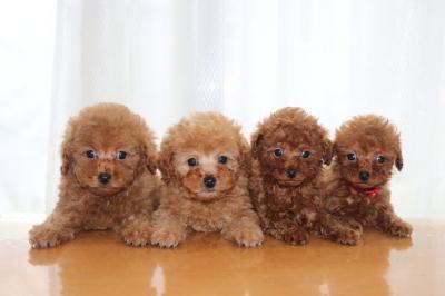 トイプードルの子犬アプリコットオス2頭レッドメス2頭、生後7週間画像