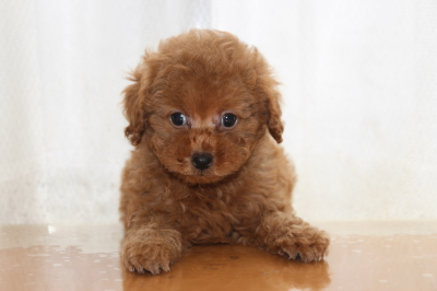 トイプードルアプリコットの子犬オス、生後7週間画像