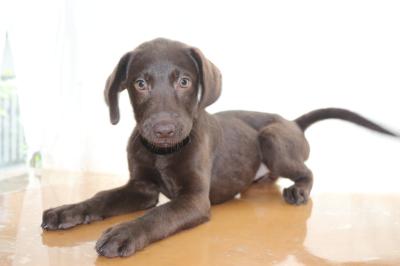 ラブラドールチョコ(チョコラブ)の子犬メス、生後3ヵ月画像