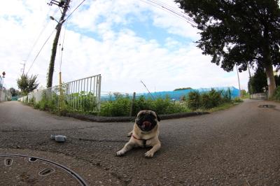 ペットホテルin千葉県パグのハフ君from茨城県取手市画像