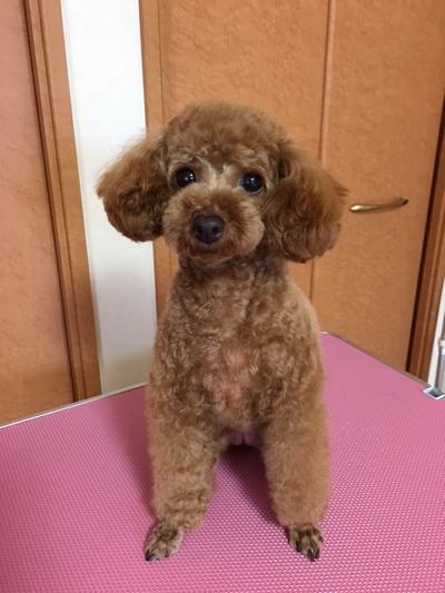 東京都三鷹市トイプードルレッドメス画像