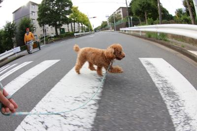 ペットホテルin千葉県トイプードルレッドノエルちゃんfrom東京都三鷹市画像