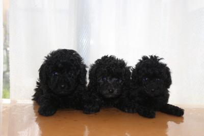 トイプードルの子犬、ブラック(黒)オスとシルバーオスメス、生後6週間