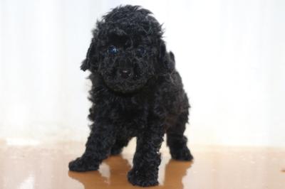 トイプードルブラック(黒色)の子犬オス、生後6週間画像
