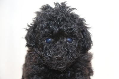 ティーカッププードルブラック(黒色)の子犬メス、生後6週間画像