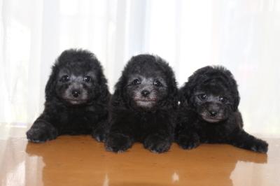 トイプードルシルバーの子犬オス2頭メス1頭、生後7週間画像