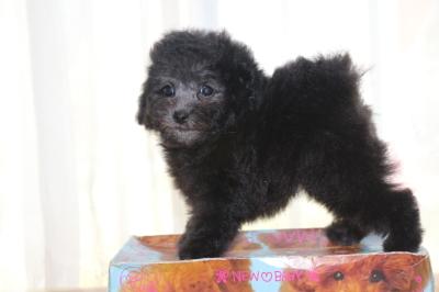 トイプードルシルバーの子犬メス、生後7週間画像