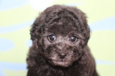 イプードルシルバーの子犬オス、生後7週間画像
