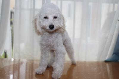 トイプードルホワイトの子犬オス、埼玉県川口市雷太君画像